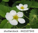 blossoming of wild strawberry...   Shutterstock . vector #442107343