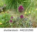 Allium Sphaerocephalon  Plant....