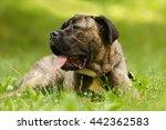 Italian Mastiff Cane Corso...