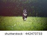 Stock photo aron the pitbull 442473733