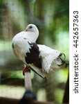 Fantail Pigeon Perched On A...