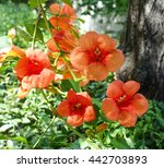 Orange Hibiscus Flower With...