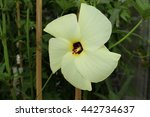 """Small photo of """"Aibika"""" flower (or Sunset Muskmallow, Sunset Hibiscus, Hibiscus Manihot) in St. Gallen, Switzerland. Its Latin name is Abelmoschus Manihot, native to tropical Asia."""