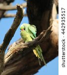 Small photo of Mating rose-ringed parakeet (Psittacula krameri), known as the ring-necked parakeet, is a Afro-Asian parakeet species that has an extremely large range. They have a distinctive green colour.