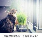 Domestic Cat Eating Cat Grass...