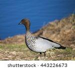 Shy Brown Australian Wood Duck...