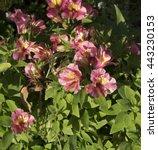 dazzling princess lilies ...   Shutterstock . vector #443230153