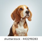 Studio Shot Of Beagle Dog Over...