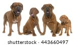 Bordeaux Mastiff Family In...