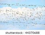 wild geese migrating   Shutterstock . vector #44370688