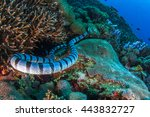 Small photo of Laticauda or sea kraits are a genus of venomous elapid snakes from the family Hydrophiinae. Sea snake. Banded sea snake. Indonesia, Nusa Penida.