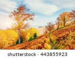 birch forest in sunny afternoon ... | Shutterstock . vector #443855923