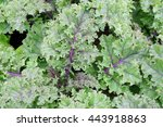 Growing Kale And Cabbage In Th...