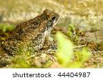 "toad ""bufo marinus"" | Shutterstock . vector #44404987"
