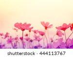 cosmos flower in the garden... | Shutterstock . vector #444113767