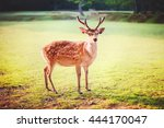 Sacred Sika Deer At Nara Park...