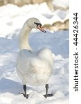 Small photo of mute swan (cynus olor) in a winter scene