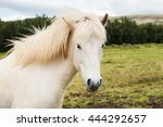 Beautiful White Icelandic Hors...