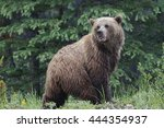 mainland grizzly bear  ursus... | Shutterstock . vector #444354937