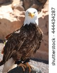 Small photo of American Eagle with a white head on stones