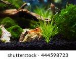 mexican crayfish for nano...   Shutterstock . vector #444598723