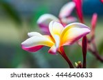 close up of frangipani flowers  ... | Shutterstock . vector #444640633