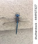 Small photo of Blue-eyed darner (Aeshna multicolor) is a dragonfly of the family Aeshnidae.