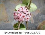 Small photo of Hoya red carnosa, a reddish wax plant.