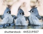 Trio Of Tufted Titmice In...
