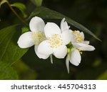 White Flowers On Mock Orange...