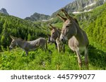 Funny Donkeys In The Mountains