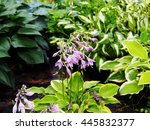 Blooming Hosta In Summer