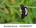 Small photo of Butterfly from the Taiwan (Tagiades cohaerens) White skirt hesperiids butterfly