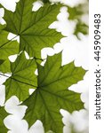 Small photo of Green maple leaves in spring, Acer platanoides
