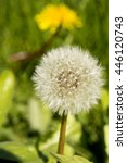 Small photo of Dandelion seeds awaiting a brisk breeze to travel across the land.