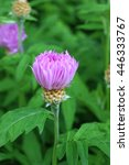 Small photo of purple ageratum bud