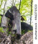 a giant anteater  myrmecophaga... | Shutterstock . vector #446373523
