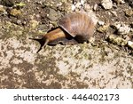 Small photo of African giant snail�Achatina Achatina snail is an invasive species, Bali, Indonesia