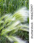 Small photo of The maned barley (Latin name Hordeum jubatum) is an attractive plant of the family Gramineae. A group of plants