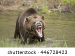 Large Grizzly Bear In Water...