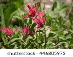 Pink Indian Paintbrush Flowers...