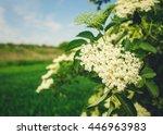 Elderberry Blossom  Close Up ....