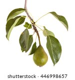 Unripe Green Pear On A Branch...