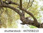oriental scops owl in thailand | Shutterstock . vector #447058213