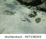 Small photo of Lonely Abudefduf saxatilis swimming at the bottom of the sea
