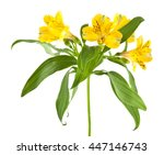 Alstroemeria Isolated On A...