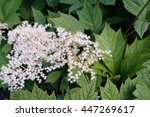 White Flower Clusters Of...