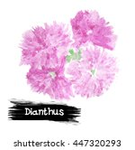 Watercolor Dianthus Isolated....