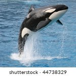 Killer Whale Jumping Out Of Th...