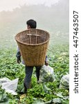 Small photo of agriculturist and cabbage in the farm